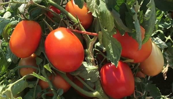 Le Sénégal vers une interprofessionnelle de la tomate industrielle