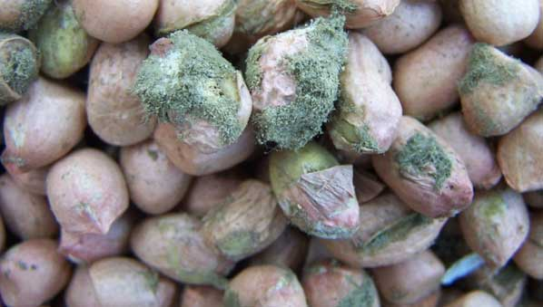 AFRIQUE : L'Aflatoxine à l'origine de 30% des cancers du foie(UA)