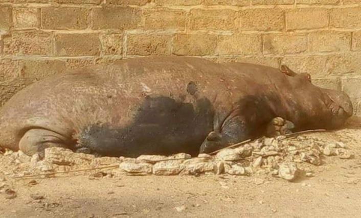 Un hippopotame qui sème la panique à Kédougou abattu