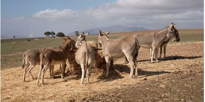 """Vers l'interdiction des """"loumas"""" pour sauver les 430.000 animaux restants dans le monde rural ?"""
