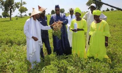 Production et commercialisation de l'arachide: Vers un record de 1, 8 millions de tonnes, le kg à 250 FCfa