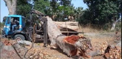 Trafic de bois en Casamance : Un camion de Khaya saisi