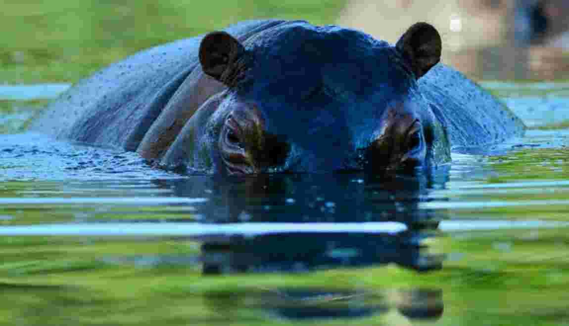 L'hippopotame, un rôle écologique important