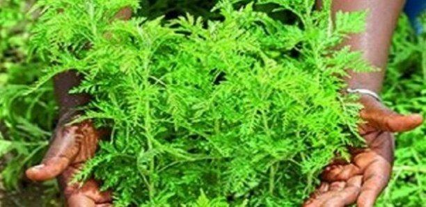 Covid-19 : Bientôt les essais cliniques de l'Artemisia