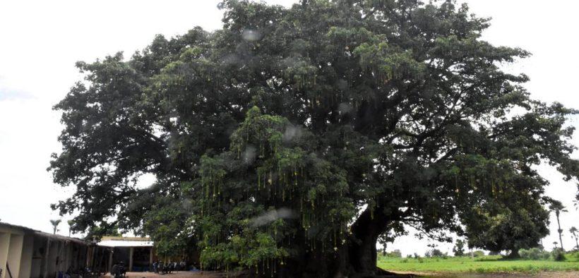 Baobab sacré de Fadial: L'ancien cimetière des griots résiste au temps