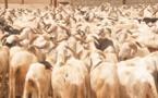 Audio: 60 moutons Ladoum d'une valeur de 100 millions volés