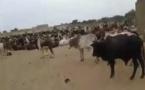 Le troupeau de bœufs de Cheikh Béthio Thioune pour le Magal 2016