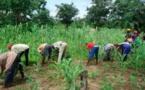 Sécurité alimentaire: vulgariser la culture des légumineuses