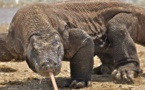 Dragons de komodo: leur sang pour des antibiotiques