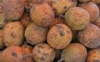 Vidéo – les vertus du saba sénégalensis appelé communément « maad » en wolof !