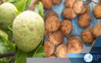 ZIGUINCHOR : Producteurs et experts planchent sur une labellisation du +MADD+