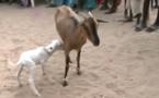 Video: Incroyable mais vrai: une chèvre qui donne naissance à une agnelle