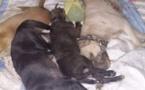 Affaire du pitbull à Icotaf: Les pitbulls, le Rottweiller et le berger allemand tués