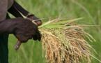 Robert Sagna, ancien ministre de l'Agriculture: «Ce n'est pas possible d'atteindre l'autosuffisance en riz en 2017»