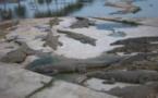 Vidéo - Pour se suicider, il plonge dans un lac et les caïmans refusent de le dévorer