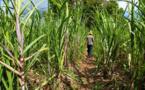 """Industrie-perspectives: """" La CSS cherche 3-500 hectares de terre pour accompagner la croissance de la consommation de sucre(DG)"""