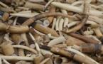 Flagrant délit: Trois trafiquants d'ivoire arrêtés à Keur Massar