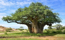 Saly-Portudal: Un Baobab en symbole du PSE